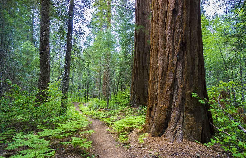 The Nelson Trail through Giant Sequoias