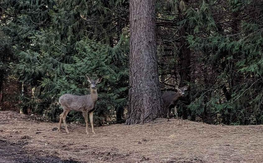 Camp Nelson Deer