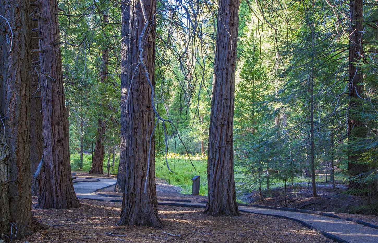 Trail of 100 Giants Paved Trail through the Trees