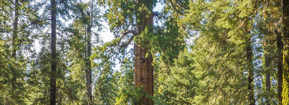 Giant Sequoia in the McIntyre Grove