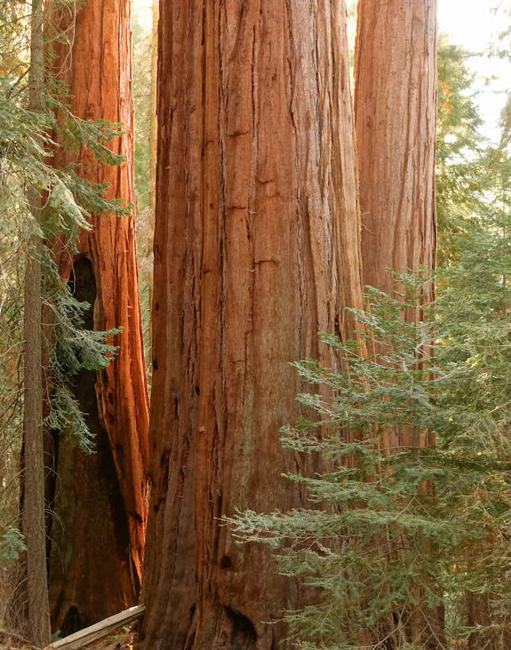 Giant Sequoias in Sunshine on the Nelson Trail