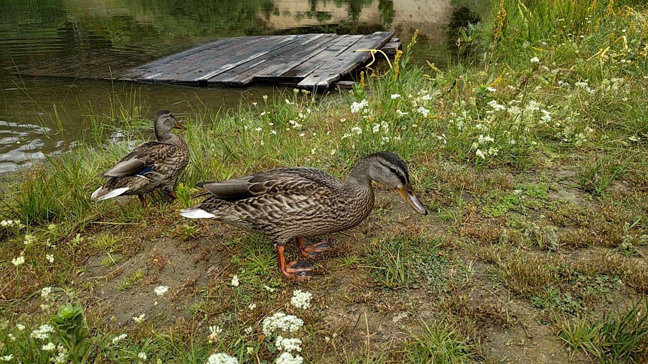 Poppy Lake - Ducks