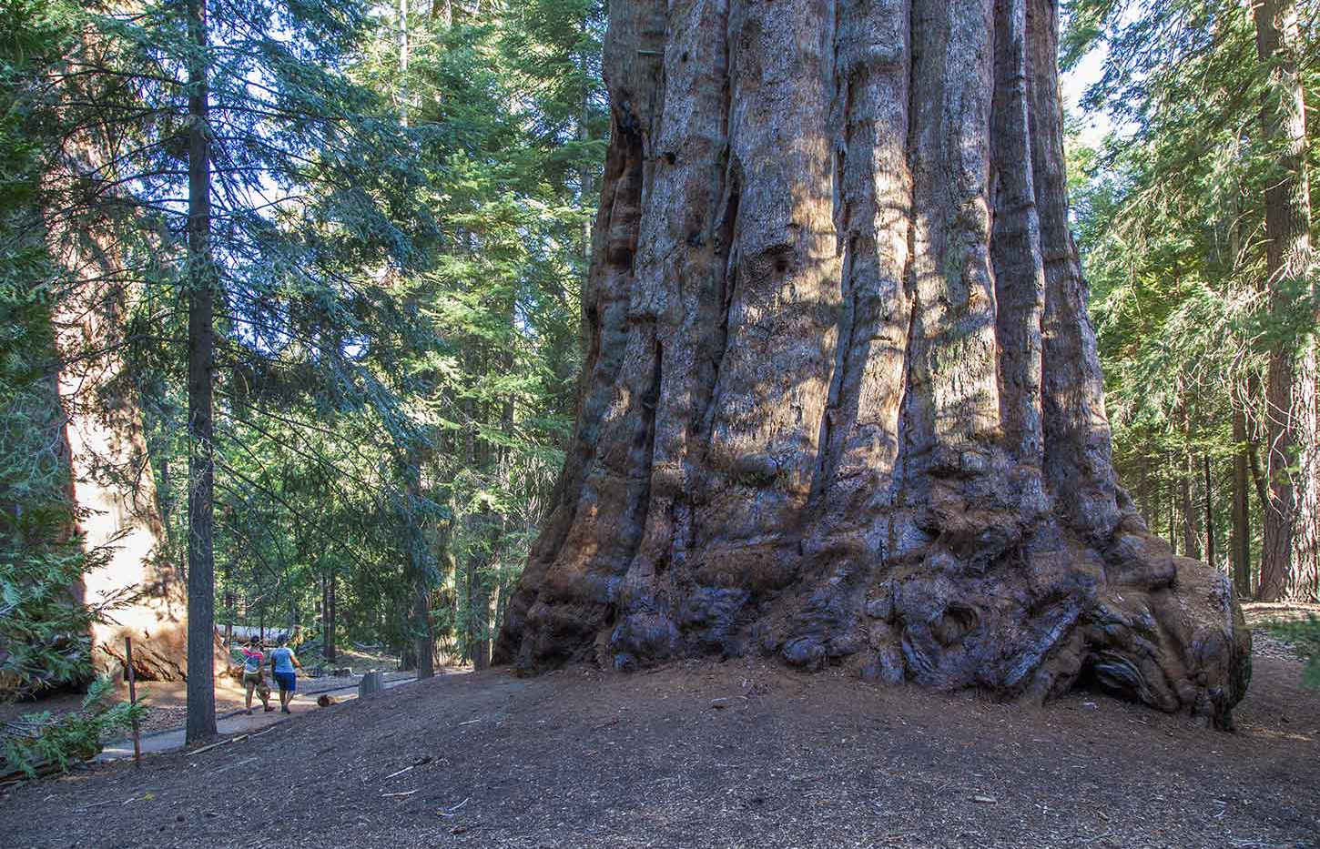 Tree on the Trail of 100 Giants