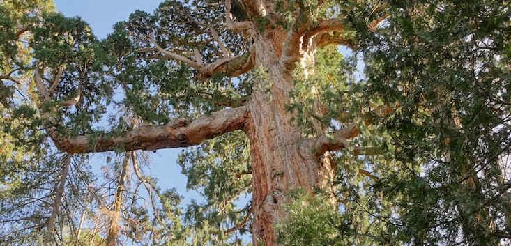 The Patriarch Tree from Below - Bear Creek Grove