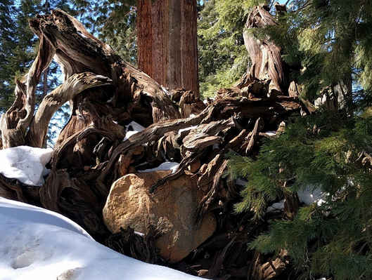 Giant Sequoia Stump with Rock