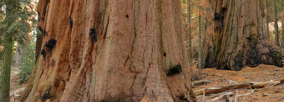 Giant Sequoia Bases in the Bear Creek Grove