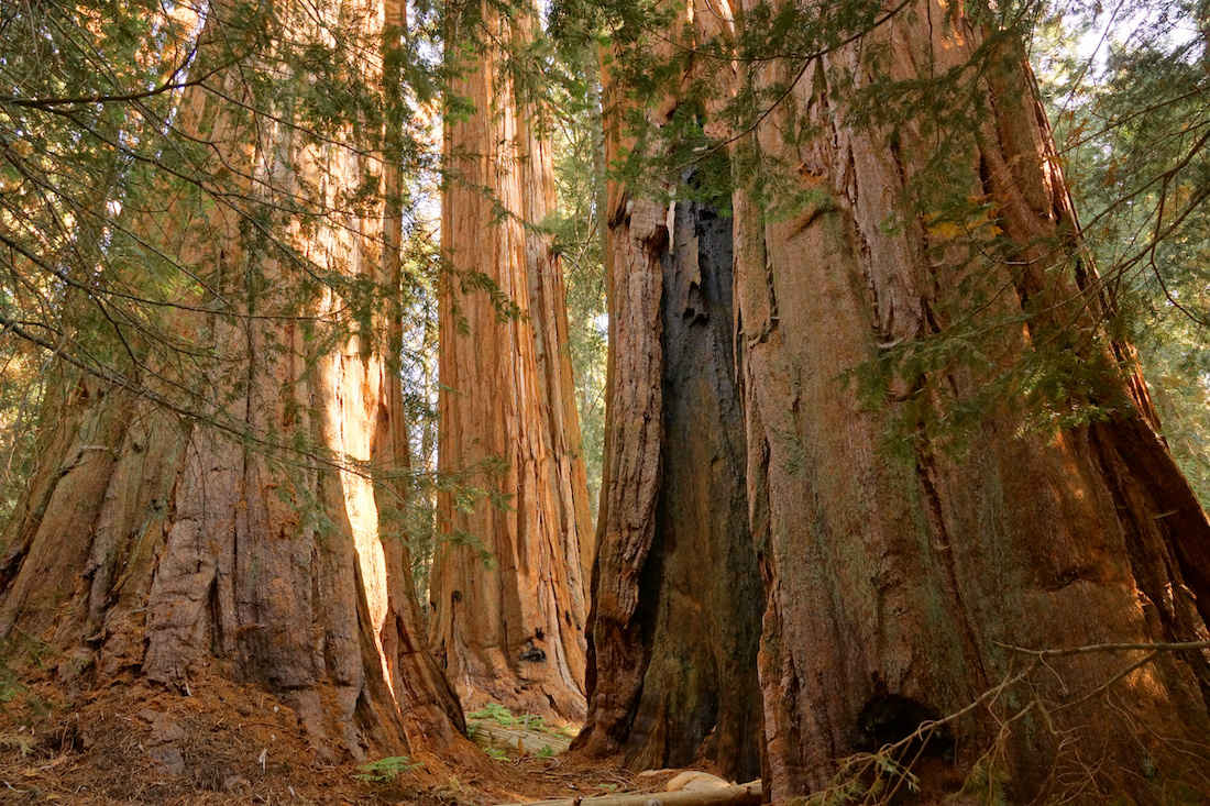 More Giant Sequoias on the Nelson Trail