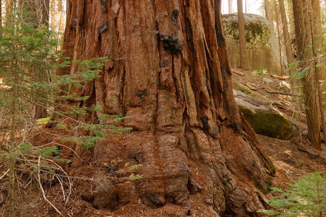 Giant Sequoia Base in the Freeman Creek Grove