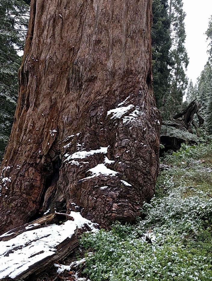 Giant Sequoia Base in Snow