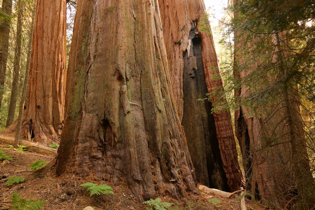 Giant Sequoias on the Nelson Trail