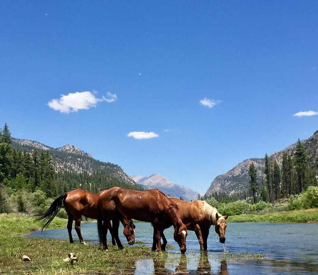 Horses in a Stream in the Golden Trout Wilderness