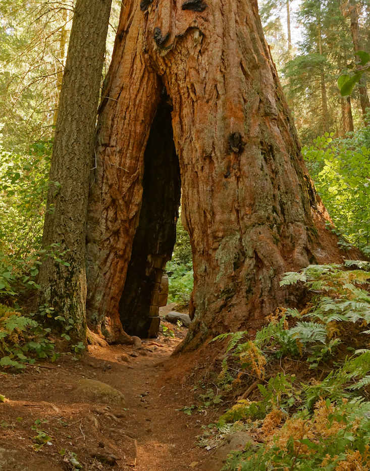 Giant Sequoia with a Split Base on the Nelson Trail