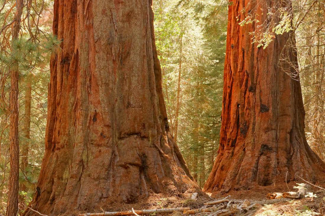 Giant Sequoias Along the Freeman Creek Trail