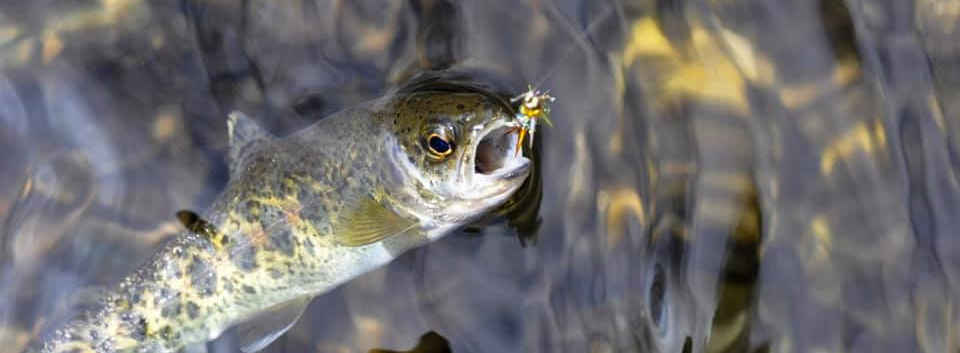 Kern River Rainbow Trout in the Golden Trout Wilderness