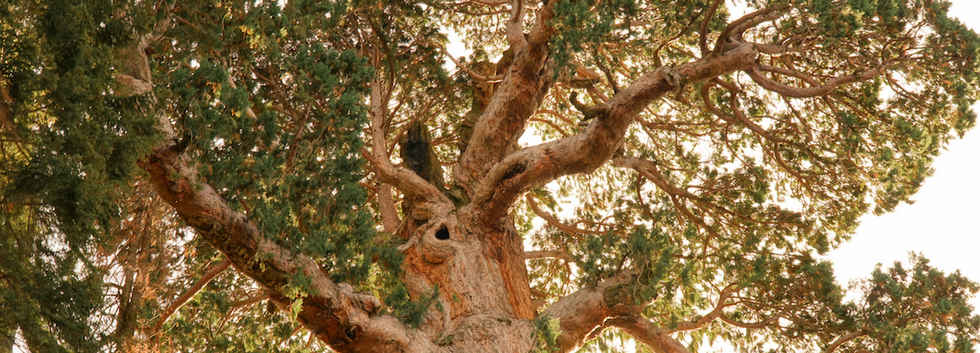 The Patriarch Tree in the Bear Creek Grove