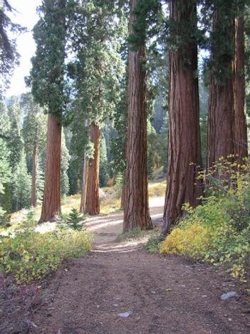 Peaceful trails through Giant Sequoias in Sequoia Crest