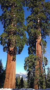 Giant Sequoias in Sequoia Crest