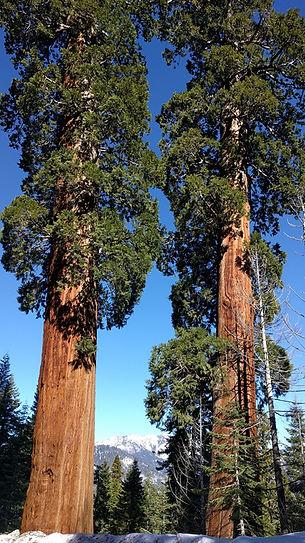 Giant Sequoias on Alder Drive in Sequoia Crest