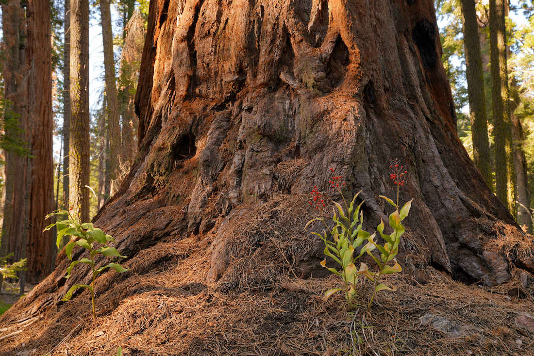 Giant Sequoia Base with Flowers on the Nelson Trail