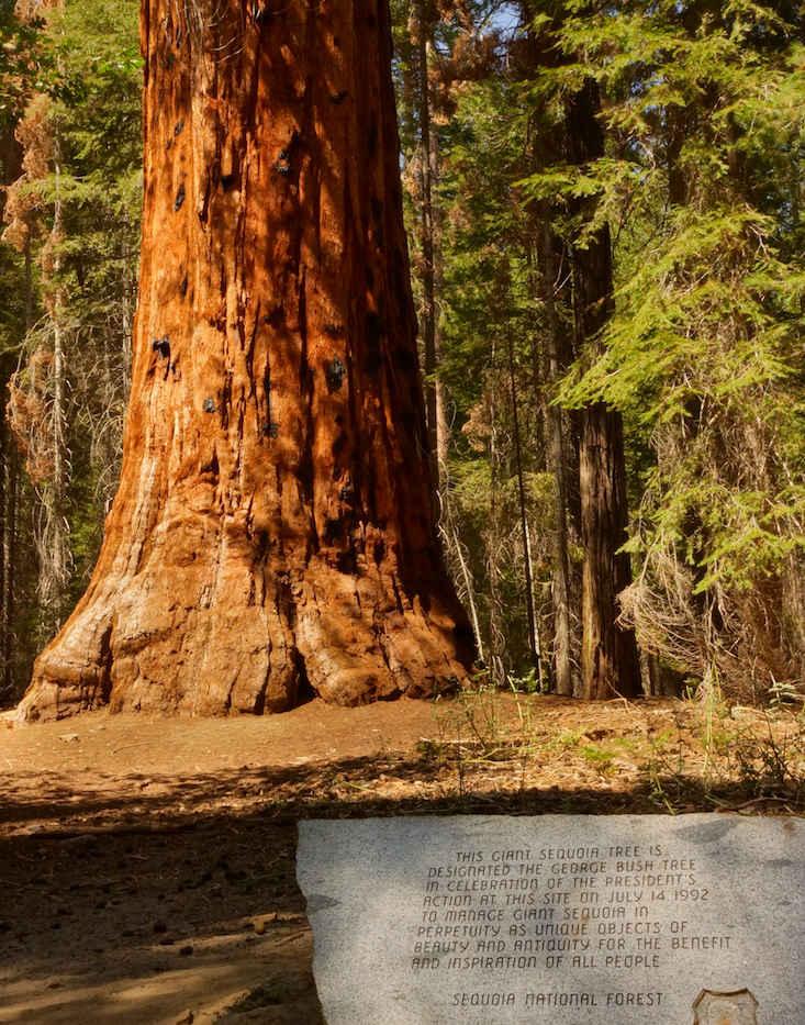 The President George Bush Tree with Sign - Freeman Creek Grove