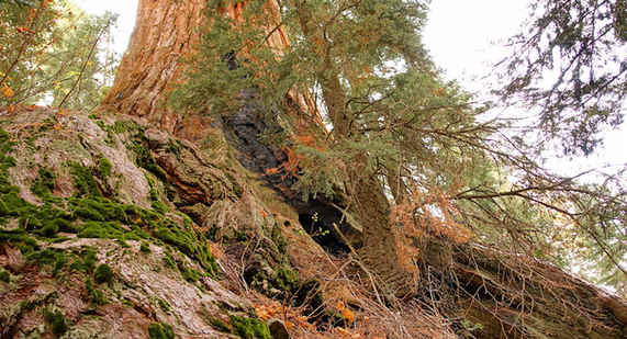 Roots of the Waterfall Tree - Sequoia C