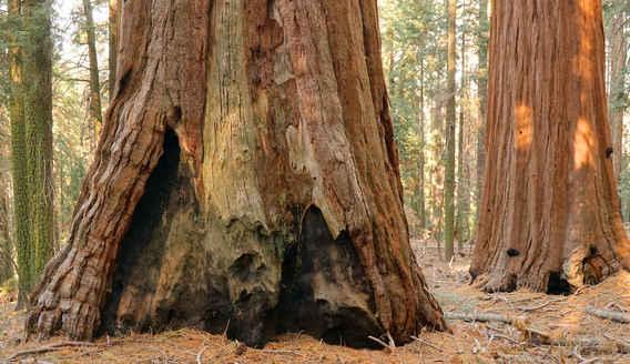 Burned Giant Sequoia Base in the Bear Creek Grove