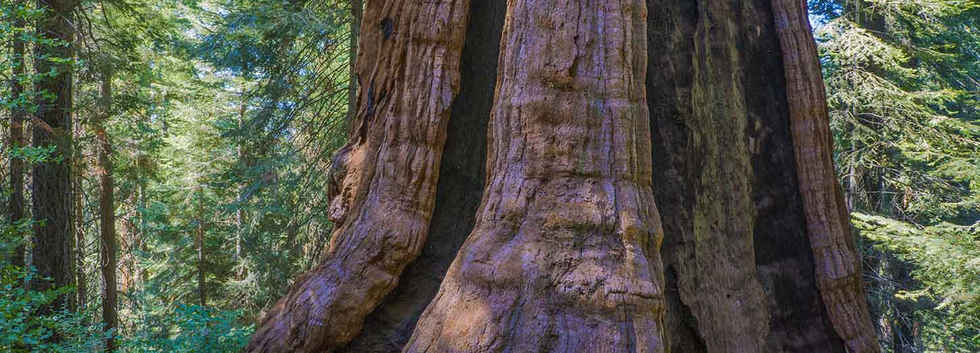Base of the Stagg Tree in Sequoia Crest
