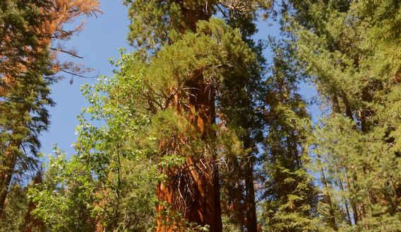 President Bush Tree in the Freeman Creek Grove
