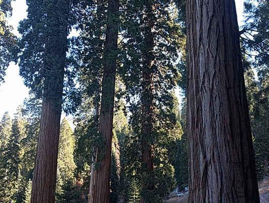 Giant Sequoias in Sequoia Crest