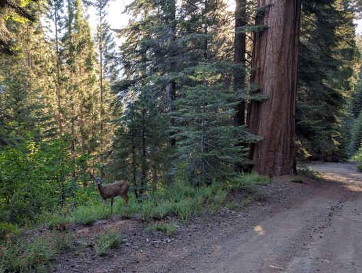 Sequoia Crest Deer