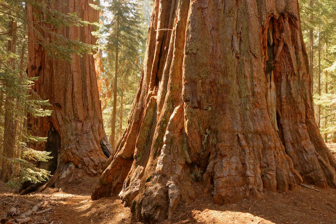 Giant Sequoias on the Trail of 100 Giants Trail