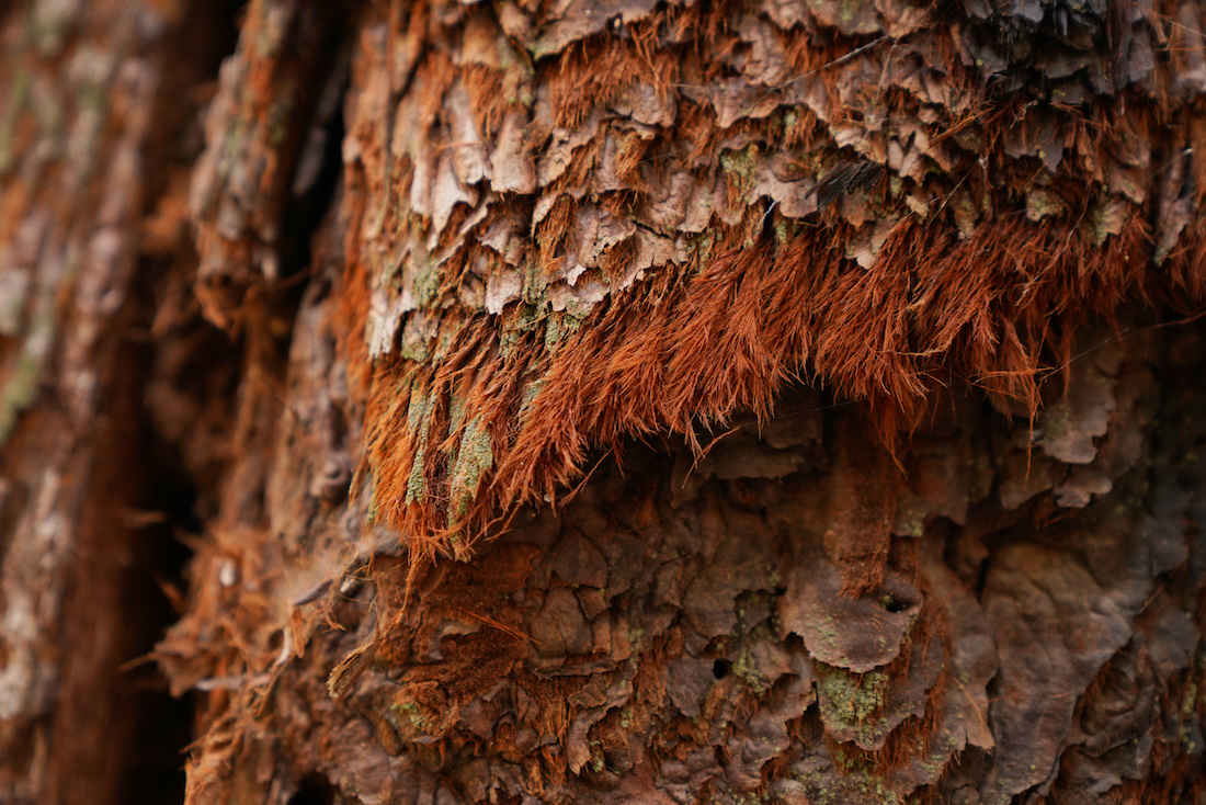 Close up of Giant Sequoia Bark on the Nelson Trail