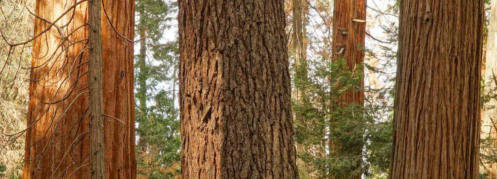 Trees in the Bear Creek Grove