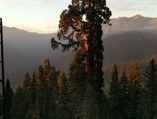 Giant Sequoia at Sunset in Sequoia Crest