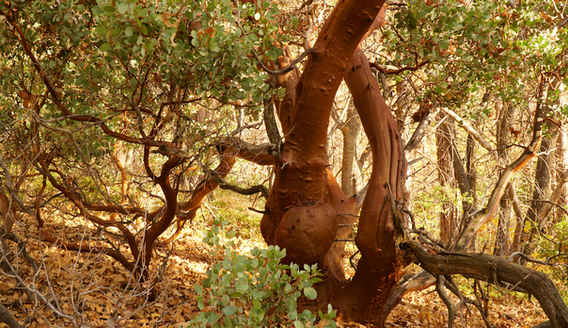 Manzanita in the Bear Creek Grove