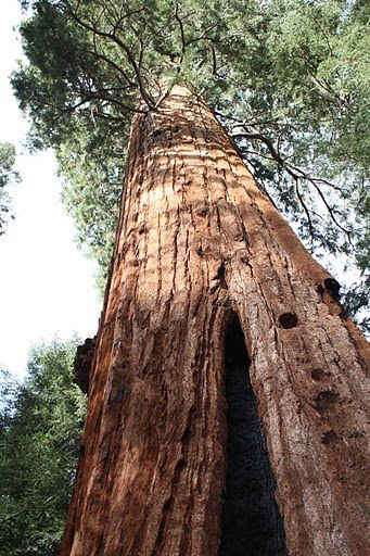 Stagg Tree - The Fifth Largest Tree in the World - Is in Sequoia Crest