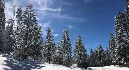 Ponderosa in the Snow