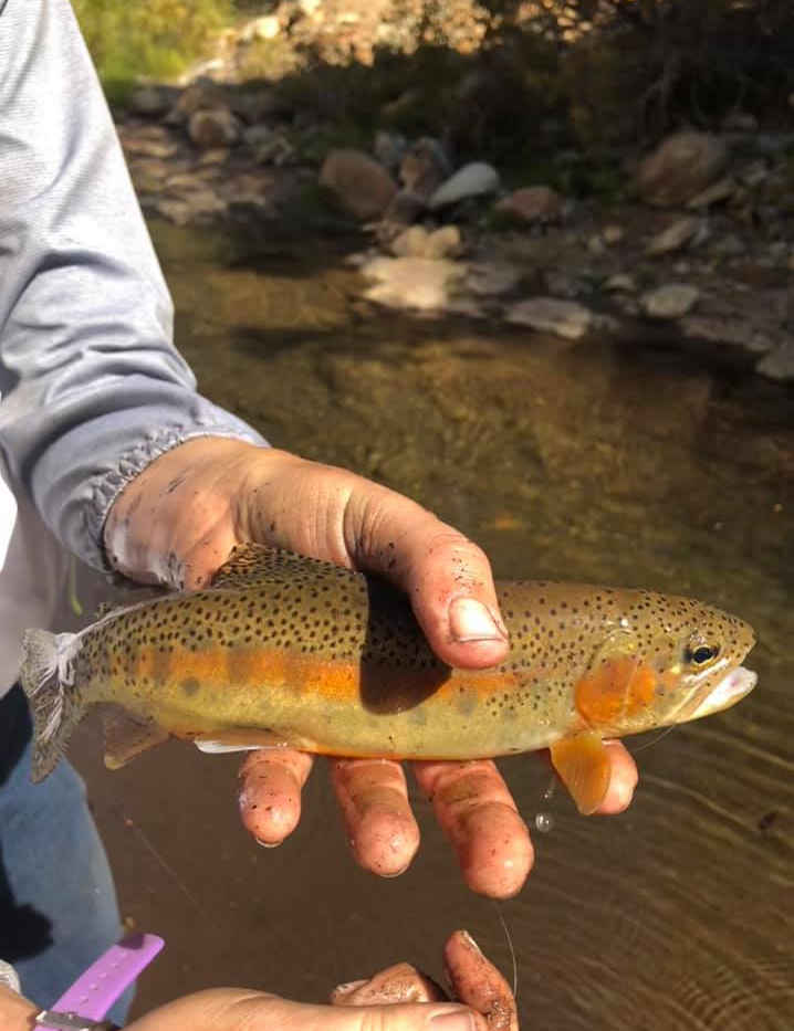 California Golden Trout in the Golden Trout Wilderness