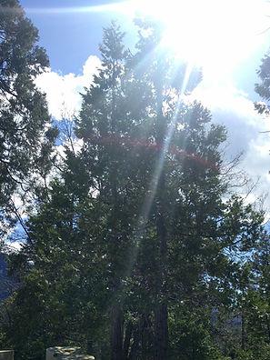 Cedar Trees at Entrance to Cedar Slope