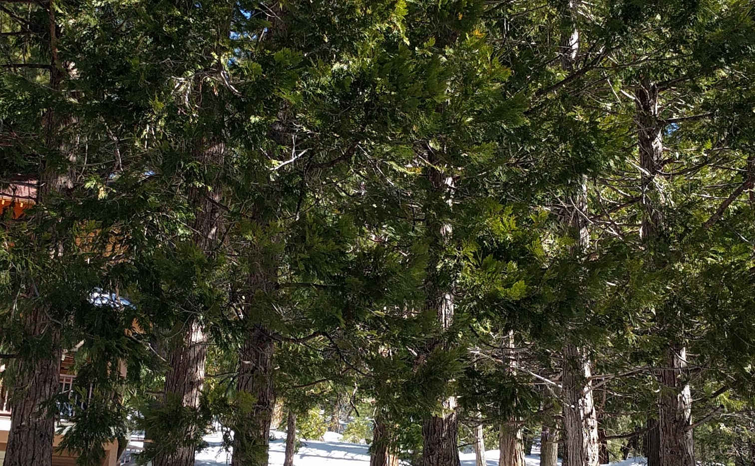 Cedar Trees in Alpine Village