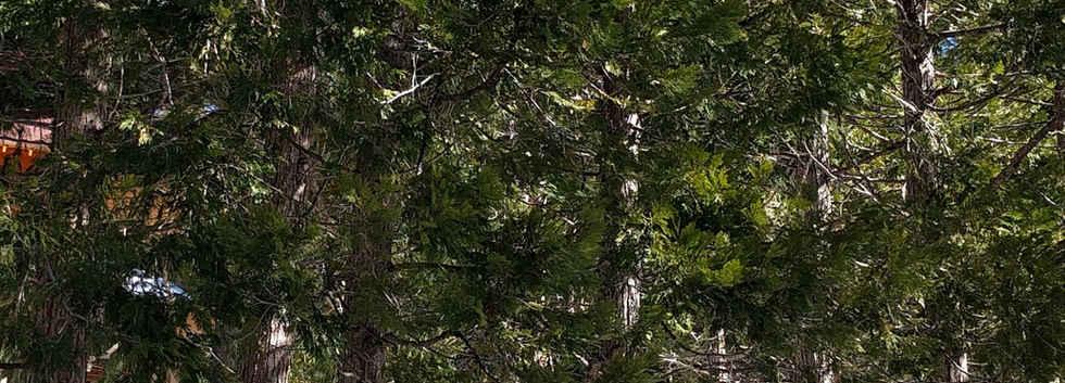 Cedar Trees in Alpine Village