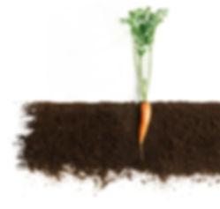 Garten Erde Karotte Gemüse Beet