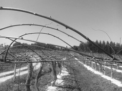 Poda de Inverno