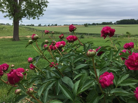 peonies...the sign of summer.