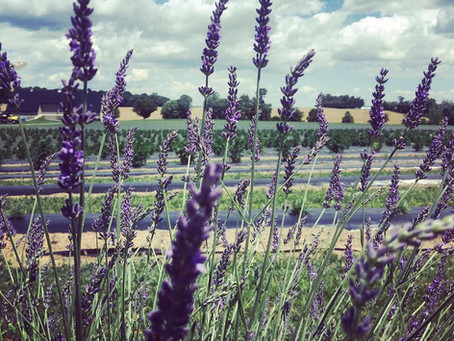 Musings from the Lavender Fields