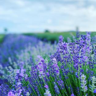 2021 Lavender in Field