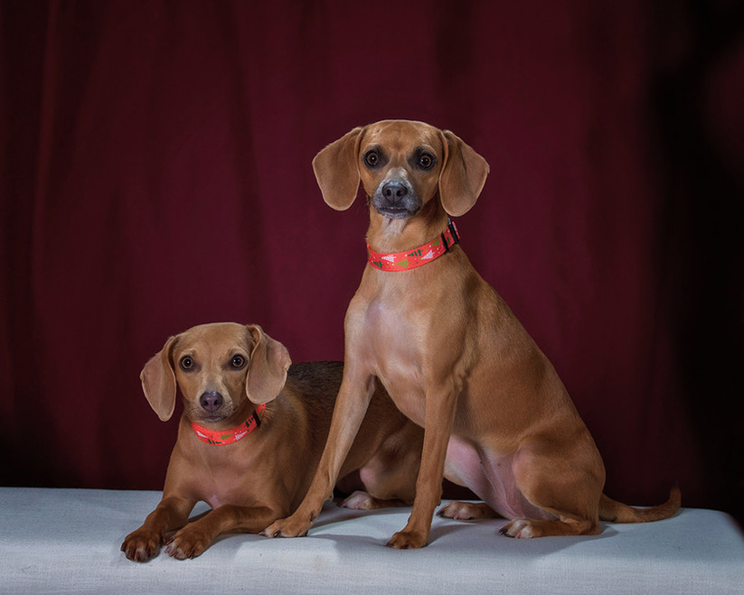 Two dachsunds