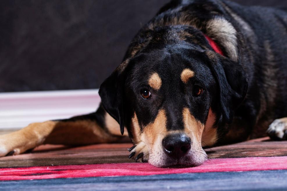 Studio pet portrait