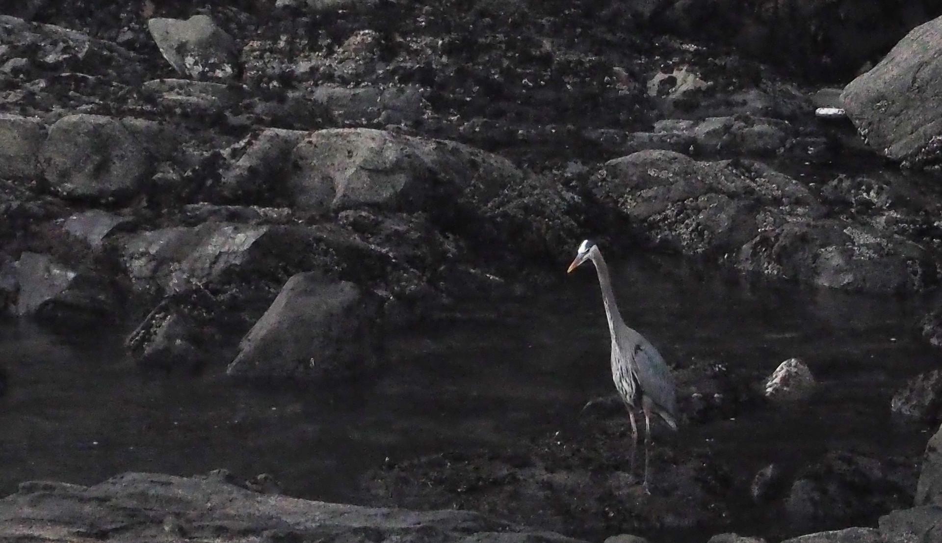 Dawn Heron