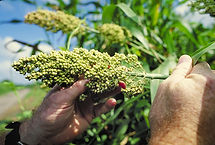 Maiz de Guinea, semillas, pasturas, alfalfa, sorgos híbridos, grama rhodes, brachiaria, subtropiales, gramíneas, leguminosas, rye grass